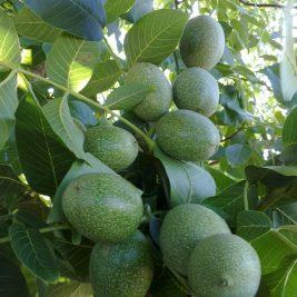 Walnut Saplings & Seedlings & Trees | Guven Nursery Turkey