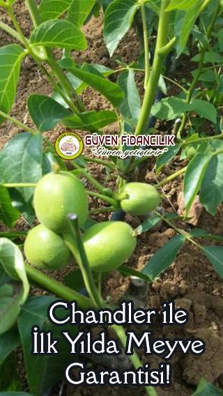 chandler-ceviz-fidani-ilk-yilda-meyve